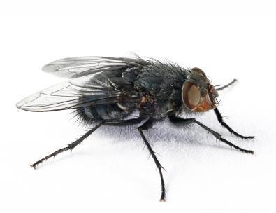 muscă